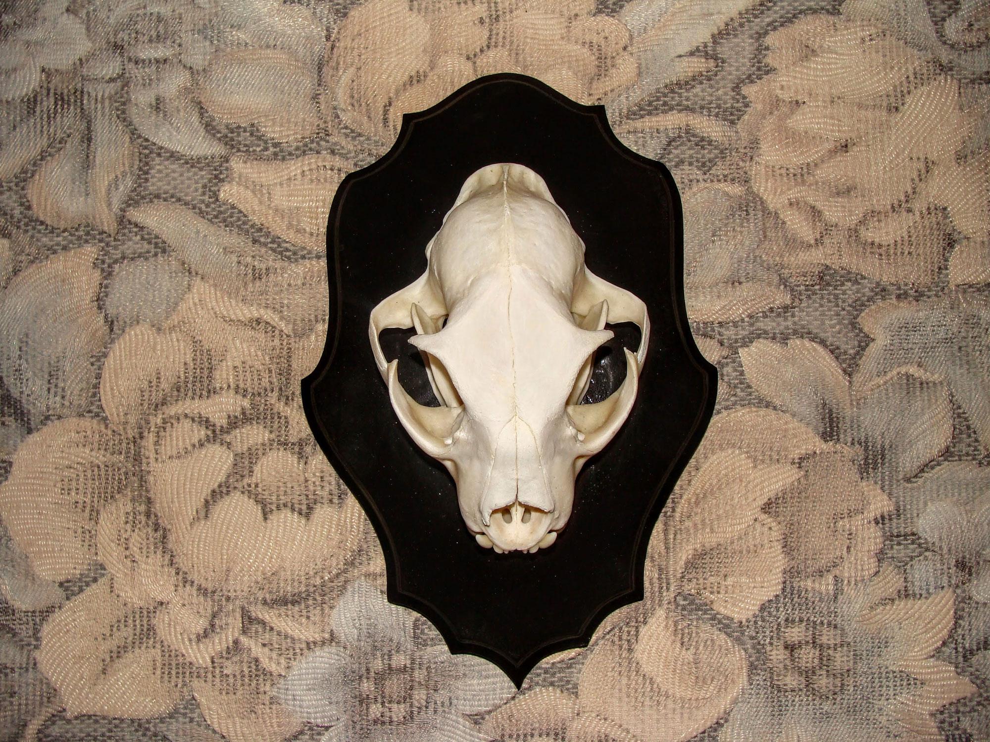 череп рыси (3)